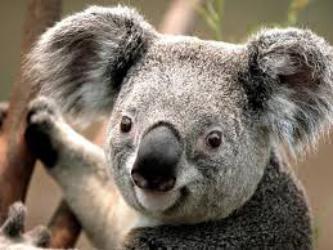 park_kounu_koala