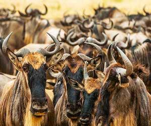 velikaya_migraciya_afrikanskix_antilop_gnu
